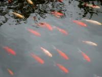 C изображением рыб